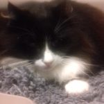 Found on Cashel Rd Crumlin on Nov 3rd - Blind long haired black and white cat.