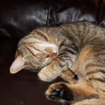 Gorgeous Tabby female in need of a new home.