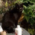 Female Black Cat Missing from Castleknock - April 18 **Home & Safe**