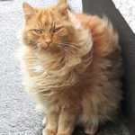 New Home Needed for a Fab Ginger - April 18