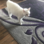 Beautiful White Cat Needs A Home - can you help?