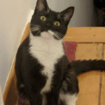 Missing Female Cat from Finglas - May 18