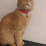 Ginger Cat Missing from Fairview since 23rd June