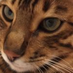 Male Bengal Missing from Glenageary since 13th July