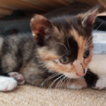 Lost Tortie kitten Hansted Lucan on Newcastle Road!