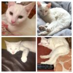Maggie (pure white & petite) is missing from Bray since July 27th