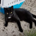 Black Cat Found in Duleek Co Meath