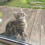 Stray Tabby Kitten Needing a Home. (Homed)