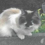 Female Ragdoll Missing from Clontarf - Nov 18