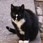 Black Cat found in Sandyford - Oct 18