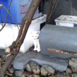 Small White Cat Found in Knocklyon - December 18