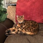 Bengal Cat Called Dakota is missing from Bree, Co Wexford. **Home safe and sound!**