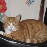 Ginger Tabby Missing from the Navan Road Since Jan 2nd