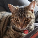 Mia the Tabby is missing from Clonliffe Road since New Years Eve