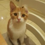 Missing Ginger Cat from Seatown Swords since December 28th (No Longer Missing)