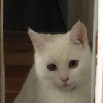 White Cat Missing from Harolds X Since Jan 19th