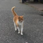 Ginger and White Cat Found in Cork. March 2019