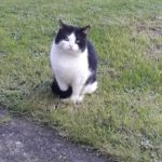Black & White Cat Found Ballyfermot