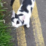 Cat Roaming in Blackrock Co Dublin since June 5th - Good News - Cat has a home locally!