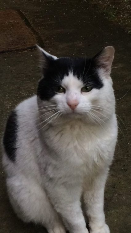 Male Cat Missing from Crumlin, Lorcan O'Toole Park  D12