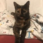 Nony The Tortie is missing from Barna in Galway Since June 5th