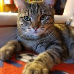 Ozzy the Tabby is Missing from Lucan since June 9th