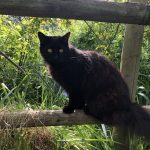Female Black Cat Missing from Terenure since June 5th