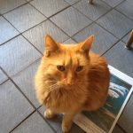 Fab Ginger Cat Found in Stonybatter - June 19 - Owner Found