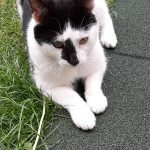 Male Black and White Cat Found in Tallaght July 19