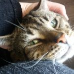 Beautiful Tabby Called Brennan Needs A New Home