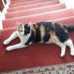 Calico Cat Missing since Aug 8th from near Killiney
