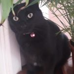 Black Cat Missing since 21st August from Dublin 11 Area.