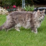 Maine Coon Missing from Blackrock, Co Dublin since Aug 12th