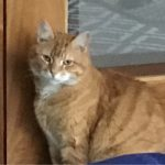 Garfield is Eight and Missing from Blarney, Cork since 11th Sep.