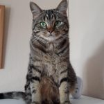 Tabby Missing from Kilbrittian, Co. Cork Since Oct 5th.
