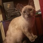 Male Siamese Cat Found in Bachelors walk area Dundalk, Co Louth.