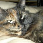 Lost Tortie Cat, near Tallaght, November 19