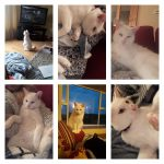 Pip is missing from Balrath Area, Co Meath Since Dec 2nd