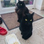 Three Beautiful Cats Need a New Home ASAP (Due to a bereavement)(HOMED)