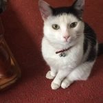 Pip is Missing In Drogheda since 27th March