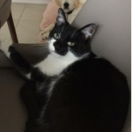 Cat Missing from Balgriffin Since May 10th