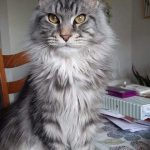 MaineCoon Missing from Naas Since May 20th