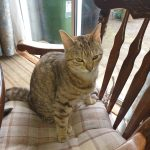 Female Tabby Missing from Palmerstown, Dublin, since May 17th