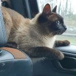 Siamese Missing from Bray since Friday 29th May