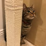 Female Tabby Missing from Dun Laoghaire Since Saturday June 6th