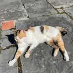Found Tri-Coloured Cat Near Cabinteely on 20th June