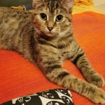 Meet Tori The Tabby! (Booked)